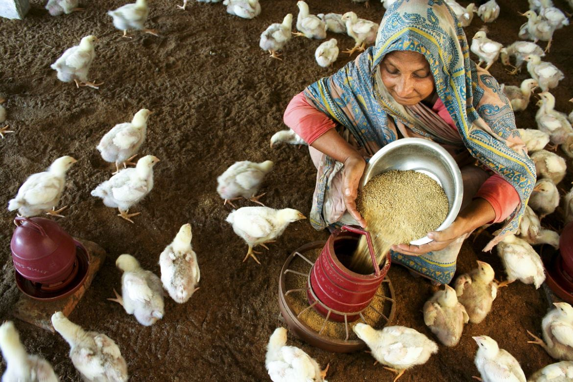 Thanks to a micro-credit agency, women such as the one depicted in the photograph can afford to make a decent living by raising their own livestock.